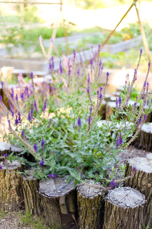 Perennial blue sage growing in a raised bed in Franklin, WI by Kelsey Jorissen Photography