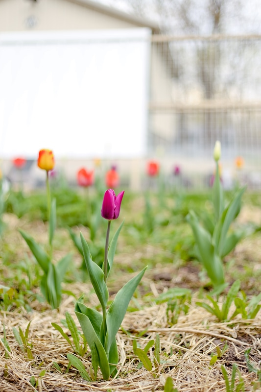 Springtime tulips popping up in Franklin, WI at Kelsey Jorissen Photography