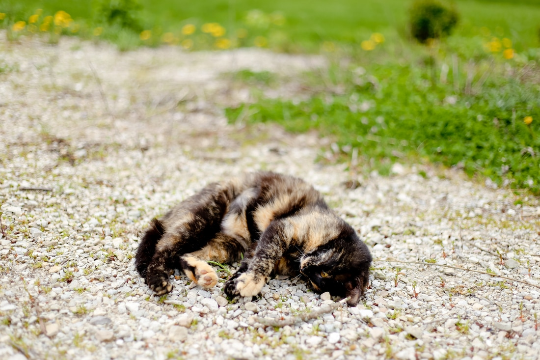 Photograph of a tortieshell barn cat who live at Kelsey Jorissen Photography