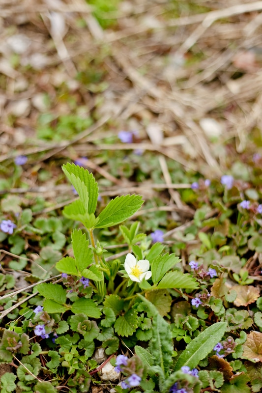 Photography of alpine strawberry and creeping charlie in bloom at Kelsey Jorissen Photography in Franklin, WI